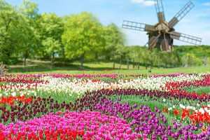 Field of tulips and mill