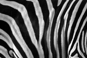 Texture of zebra model