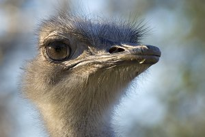 Bird Ostrich Head Closeup