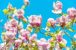 Flowers of Magnolia soulangiana tree