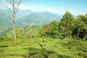Green tea bushes in India