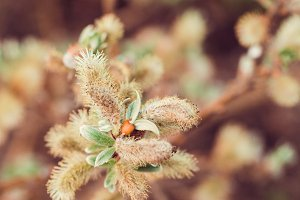 Macro photography of blooming willow