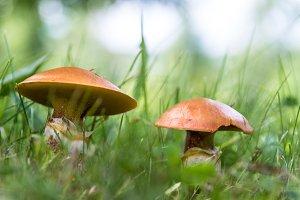 Mushrooms suillus