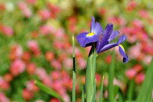 Isolated iris in the garden
