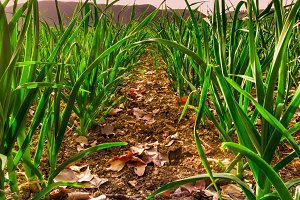 Fields of garlic cultivation