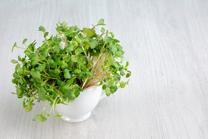 Sprouted radish sprouts in a cup