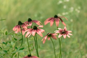 Pink Echinacea Flowers Sunny Day