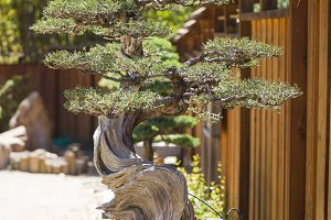 California Juniper Bonsai Tree