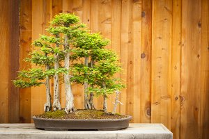 Beautiful Bald Cypress Bonsai Tree