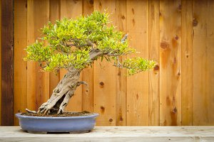 Beautiful Pomegranate Bonsai Tree