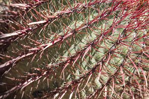 Macro Detail of The Biznaga Cactus
