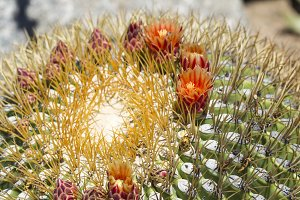 Macro Biznaga Cactus Flower Blossom