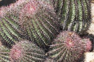 Colorful Biznaga Cactus