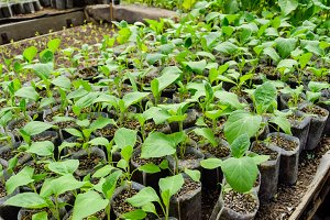Seedlings eggplant in the greenhouse. Growing eggplant of vegetables in greenhouse