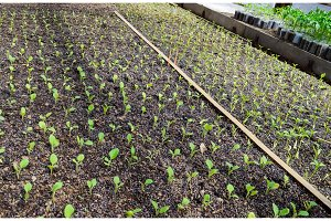 Seedlings eggplant in the greenhouse. Growing eggplant of vegetables in greenhouse