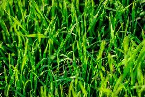 Green grass seen from above