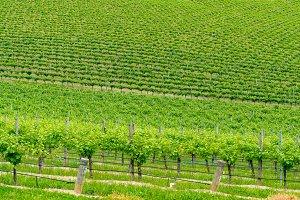 VIneyard landscape of green grape vines on the hill