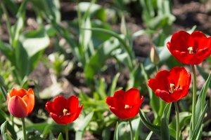 Tulips on growth