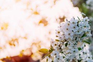 Beautiful cherry blossoms . Nature