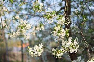 Beautiful cherry blossoms . Nature b
