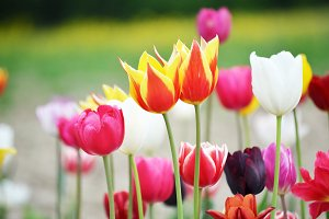 Tulip flower background, Colorful tu