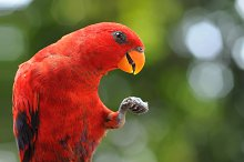 Red Parrot by andri priyadi in Animals