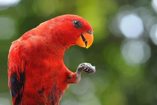 Animal Stock Photos - Red Parrot