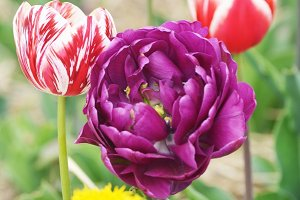 Colorful flower tulip lit by sunligh
