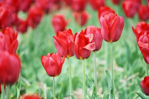 Red impression tulips blooming close
