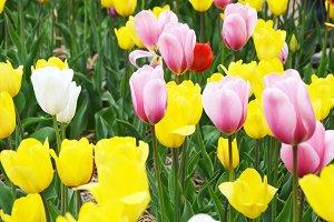 selective Tulips