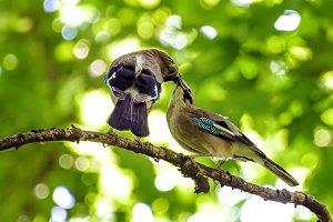 Feeding kissing and singing birds