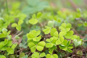 green fresh clover background