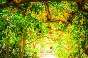 Lemon garden of Sorrento