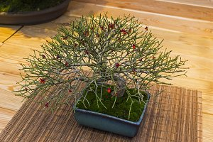 Bonsai tree  - Japanese spindle