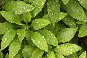 Abstract Green Foliage and Dew Drops
