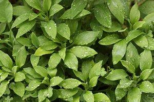 Abstract Green Foliage