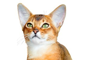 Abyssinian young cat