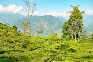 Green tea bushes on plantation