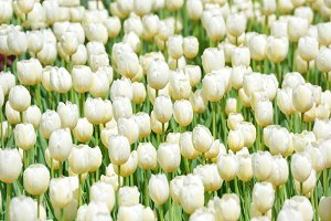 Many white tulips on the field