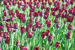 Many dark purple tulips flowers