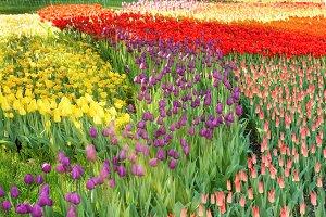 Colorful tulips garden