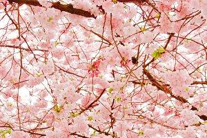 Cherry blossom in Stockholmch