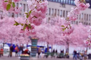 Cherry blossom in Stockholm