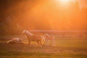 Horses in sunset light