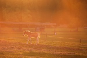 Horses in sunset light
