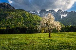 Cherry tree under the mountain