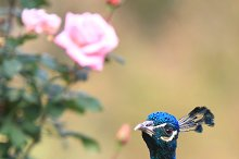 Peacock, Askania-Nova park, Ukraine