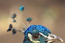 Close-up peacock, Askania-Nova