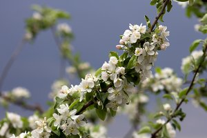 Spring Apple Blossoms, young leaves