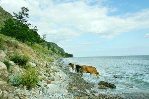 Cows at Baikal Lake, Russia